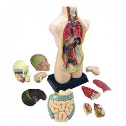 Torzo ľudského tela veľké